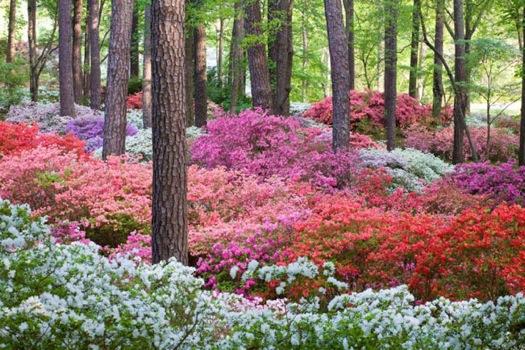 Calloway+Gardens+azaleas